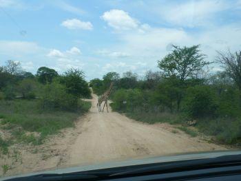 Im Krüger-Park: Anfahrt mit Hindernissen