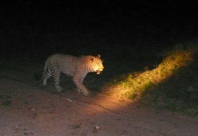Leopard auf Schleichwegen