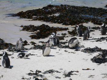 Pinguin-Kolonie bei Simon´s Town