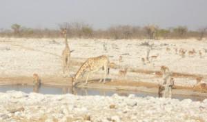 "Giraffen am ""Olifant""-Loch"