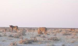 Löwenweibchen mit Jungen