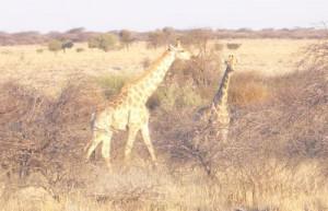 Giraffen beim abendlichen Äsen