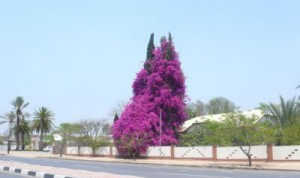 Blühender Baum in Otjiwarongo